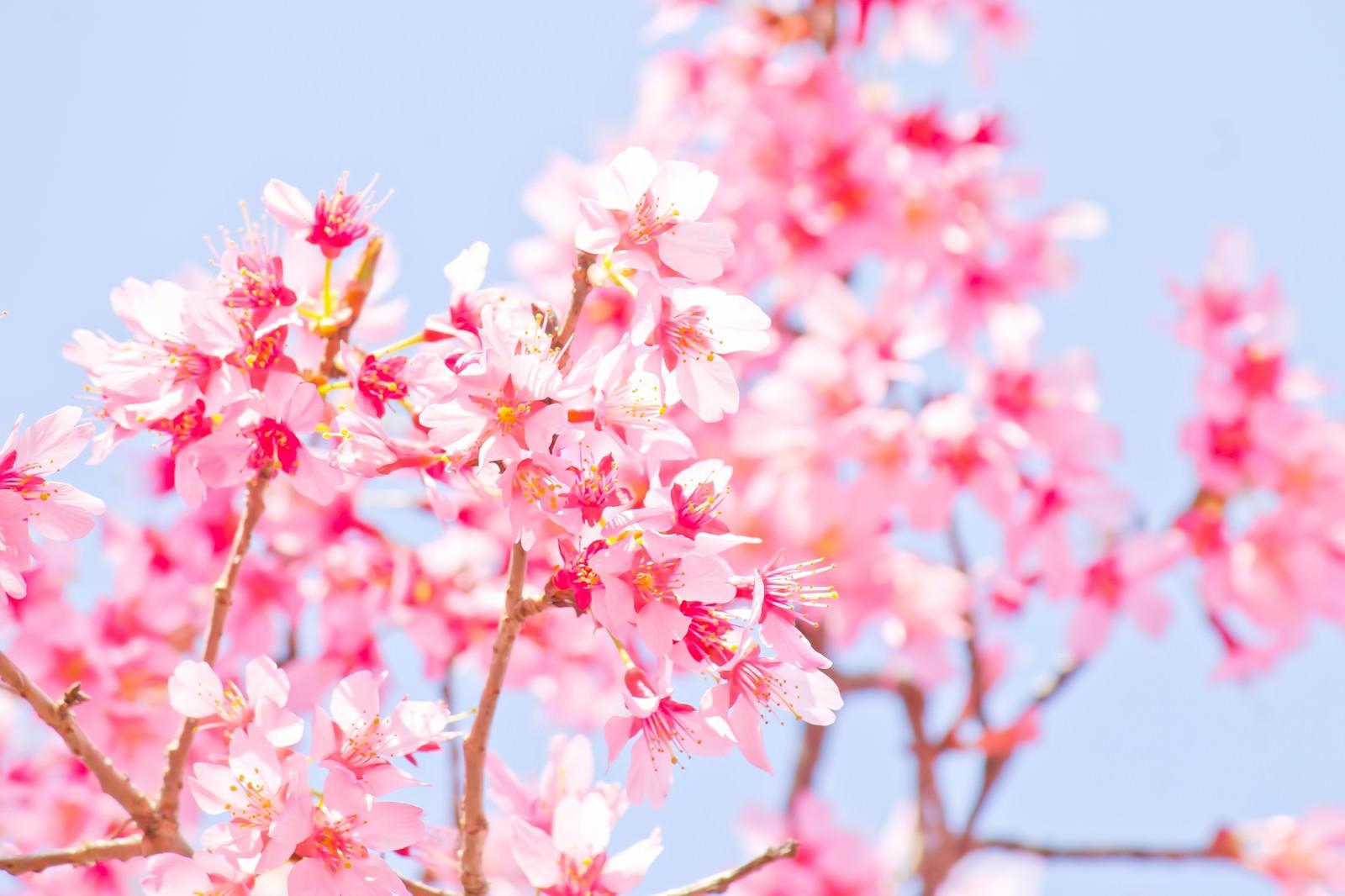 「暖かな日差しと桜」の写真