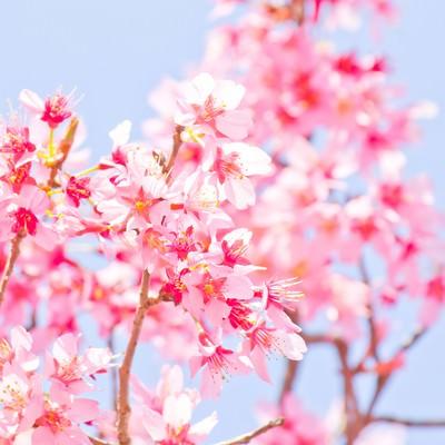 「暖かな日差しと桜」の写真素材
