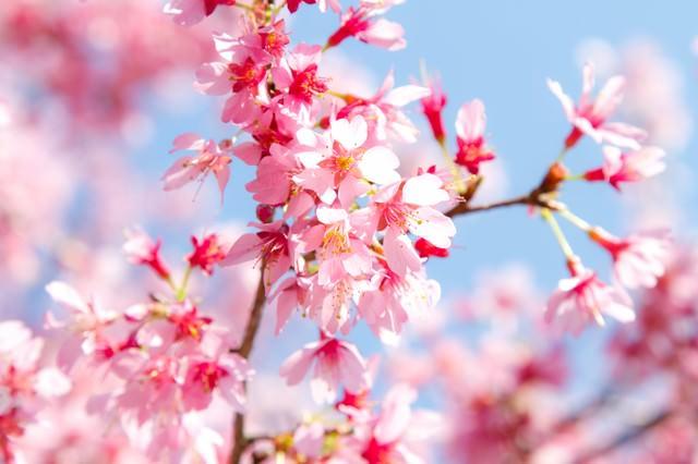 春の訪れとピンクの桜の写真