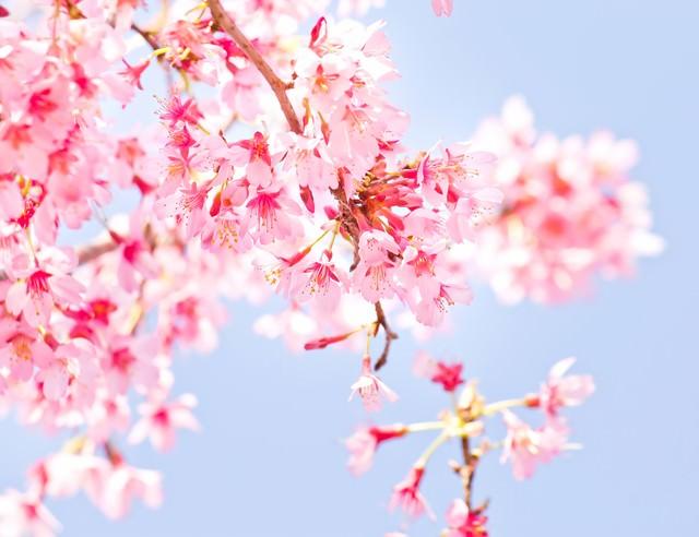 小春日和の桜の写真