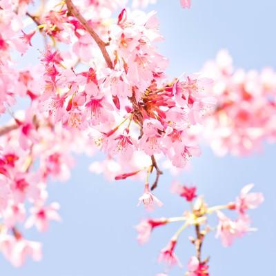「小春日和の桜」の写真素材