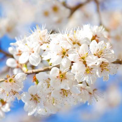 「満開の白桜」の写真素材