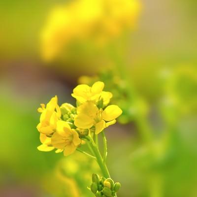 黄色い菜の花の写真