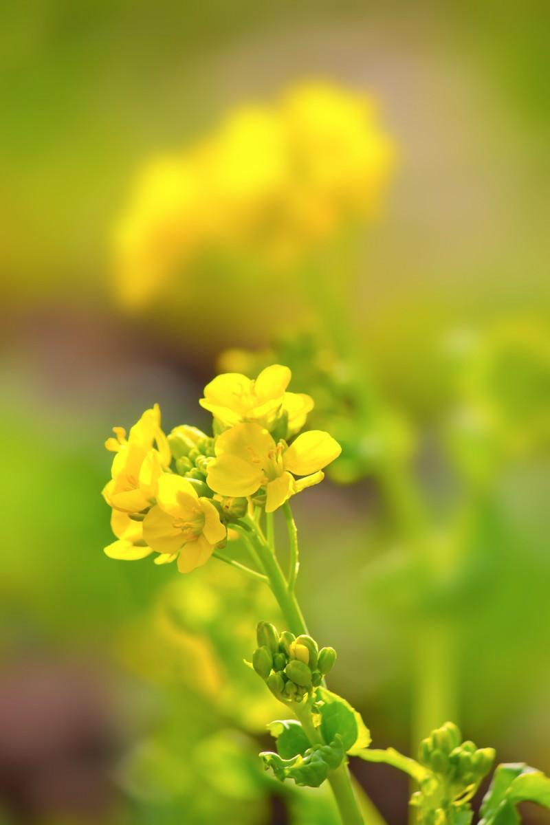 「黄色い菜の花黄色い菜の花」のフリー写真素材を拡大