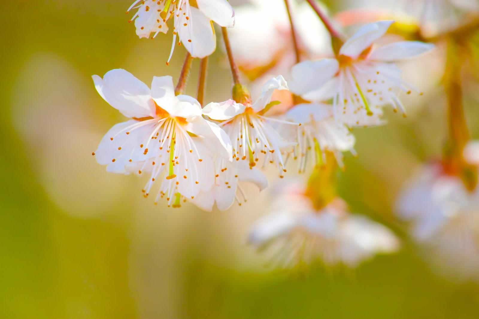 「おしべとめしべが見える白い桜おしべとめしべが見える白い桜」のフリー写真素材を拡大