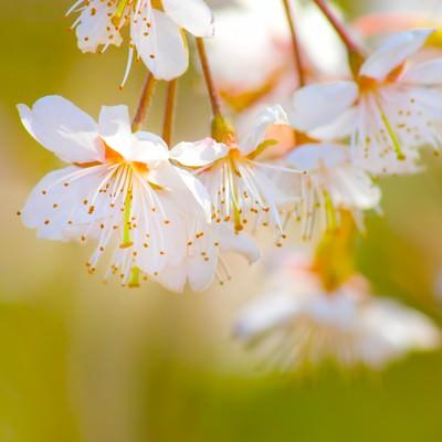 「おしべとめしべが見える白い桜」の写真素材