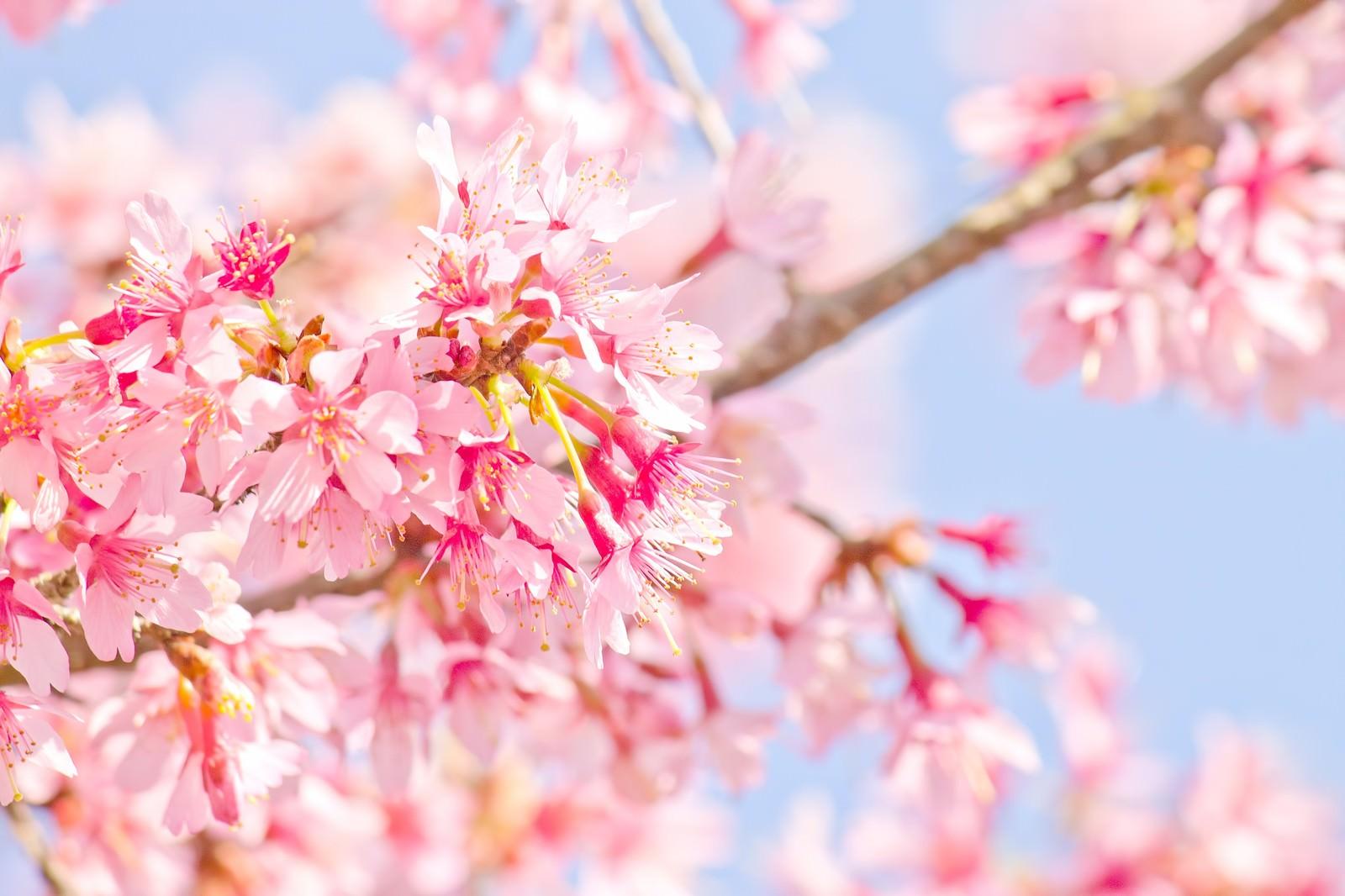 「ピンク色の桜のお花」の写真