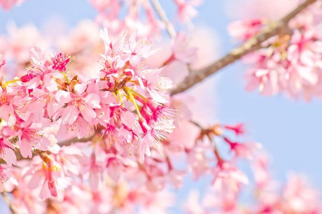 ピンク色の桜のお花の写真