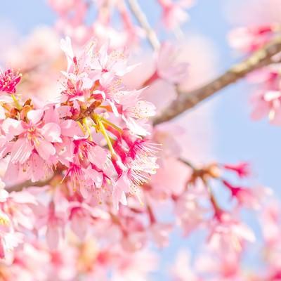 「ピンク色の桜のお花」の写真素材