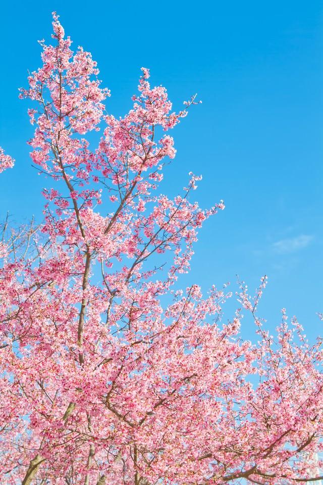 透き通る青空と桜の写真