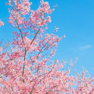 「透き通る青空と桜」の写真素材