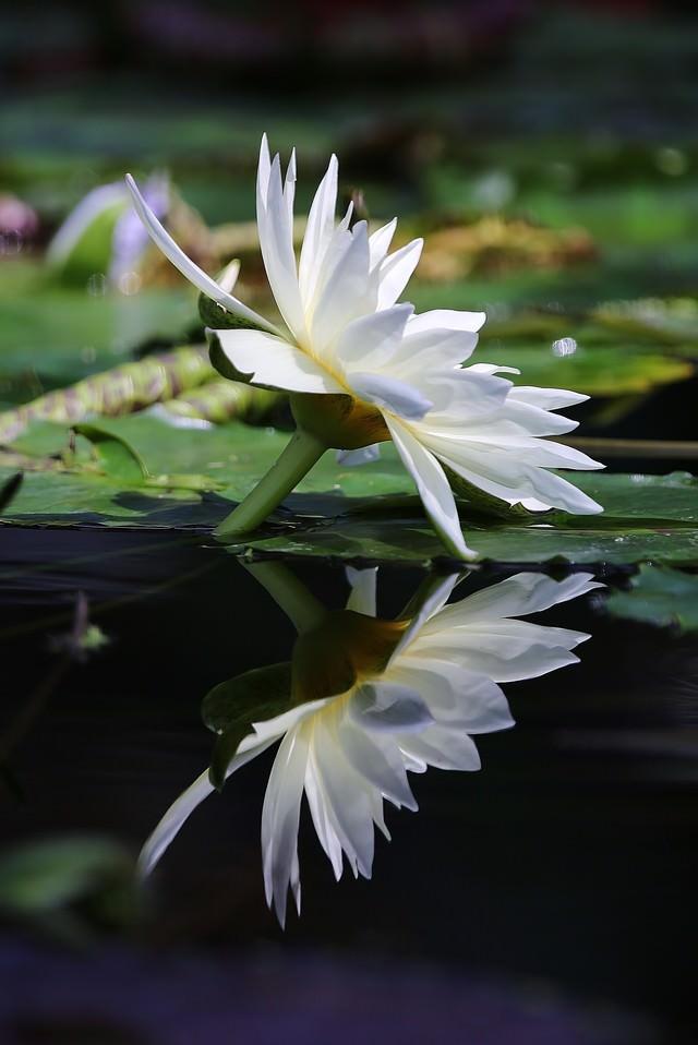 水面に反射する白い睡蓮の写真