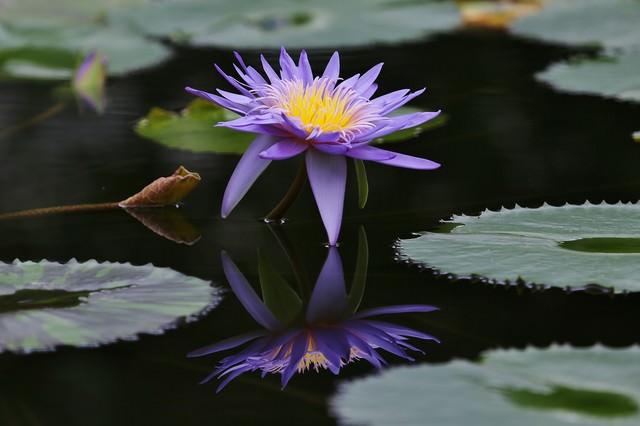 池に浮かぶ紫の睡蓮の写真