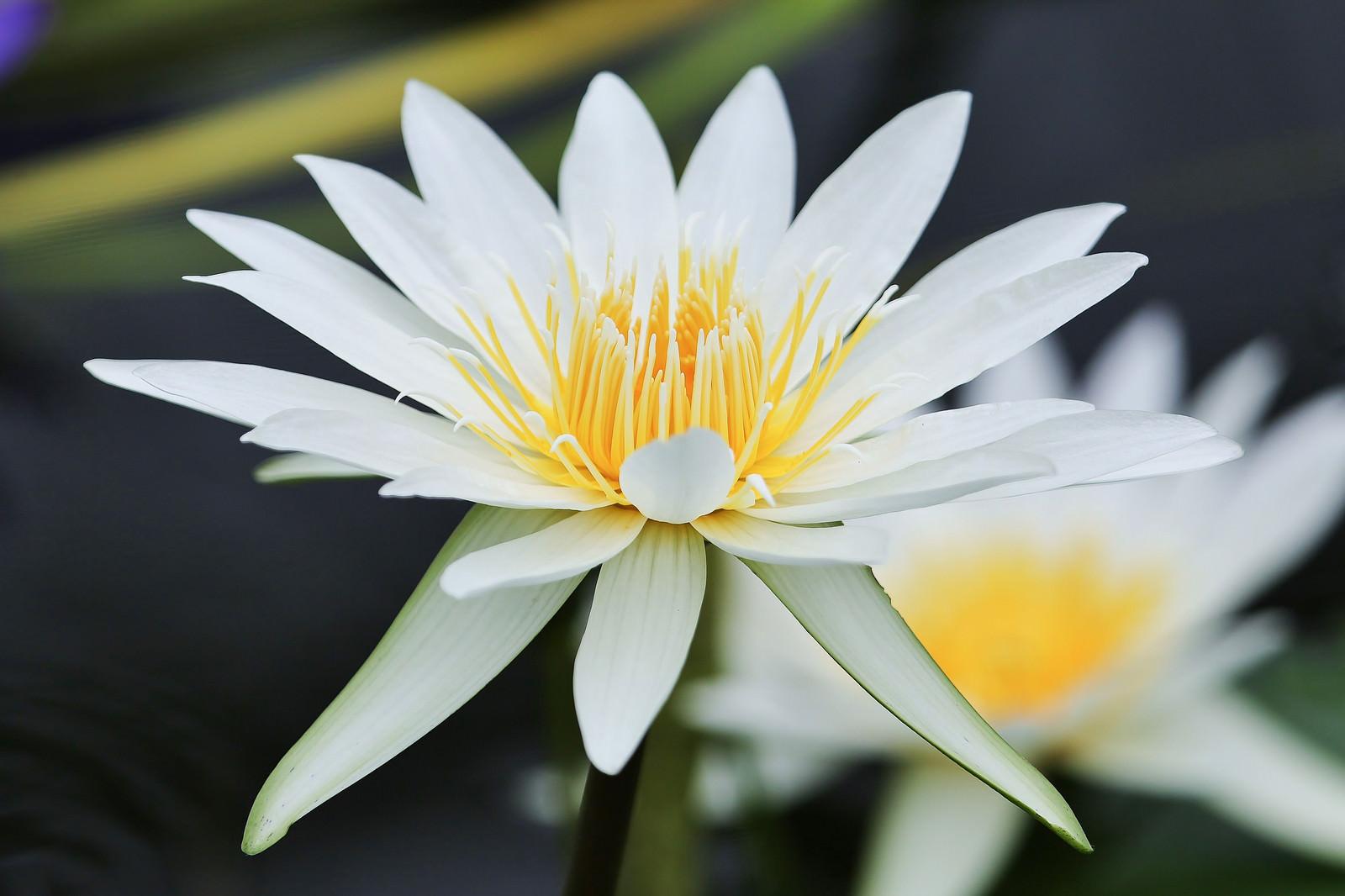 「白く美しい白いスイレンの花」の写真