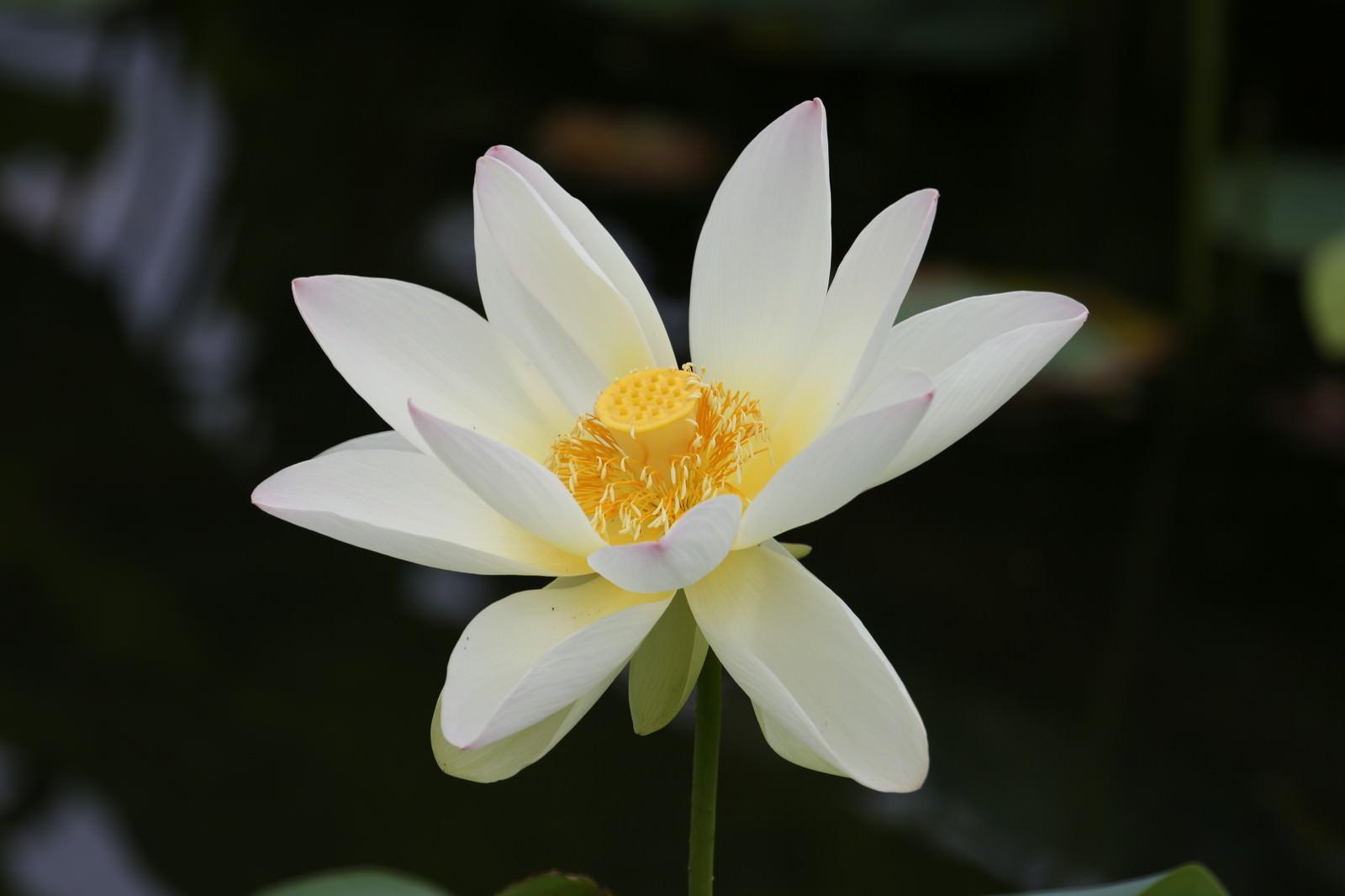 「蓮は蜂巣の略名(中央部分の種子の穴)」の写真