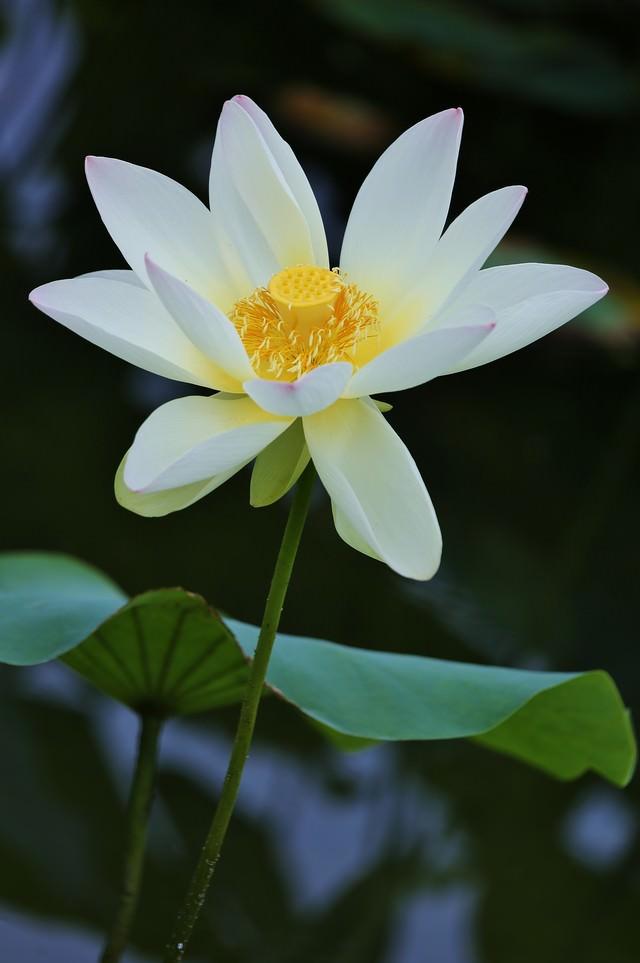 開花した蓮の花の写真