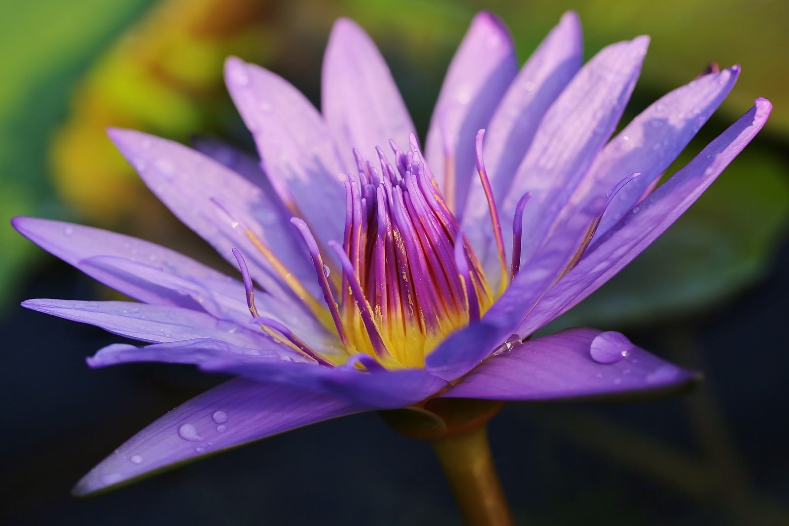 「水滴と睡蓮の花」の写真