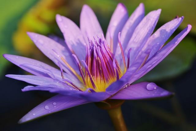水滴と睡蓮の花の写真