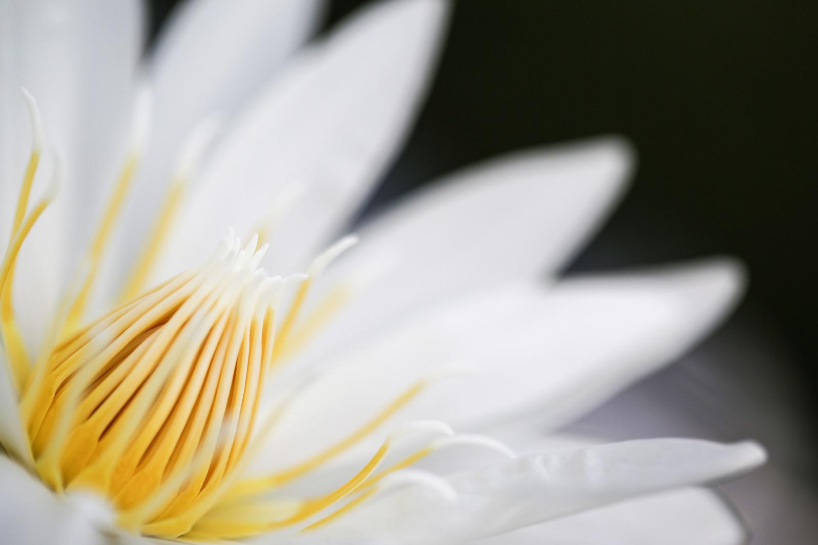 「白い睡蓮の雄しべ」の写真