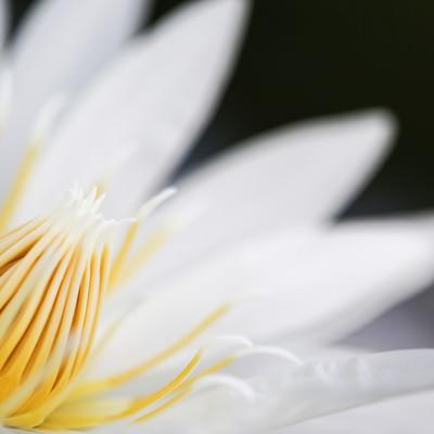 白い睡蓮の雄しべの写真