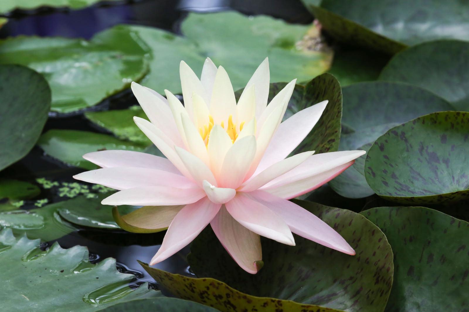 「咲き始めた池の睡蓮」の写真
