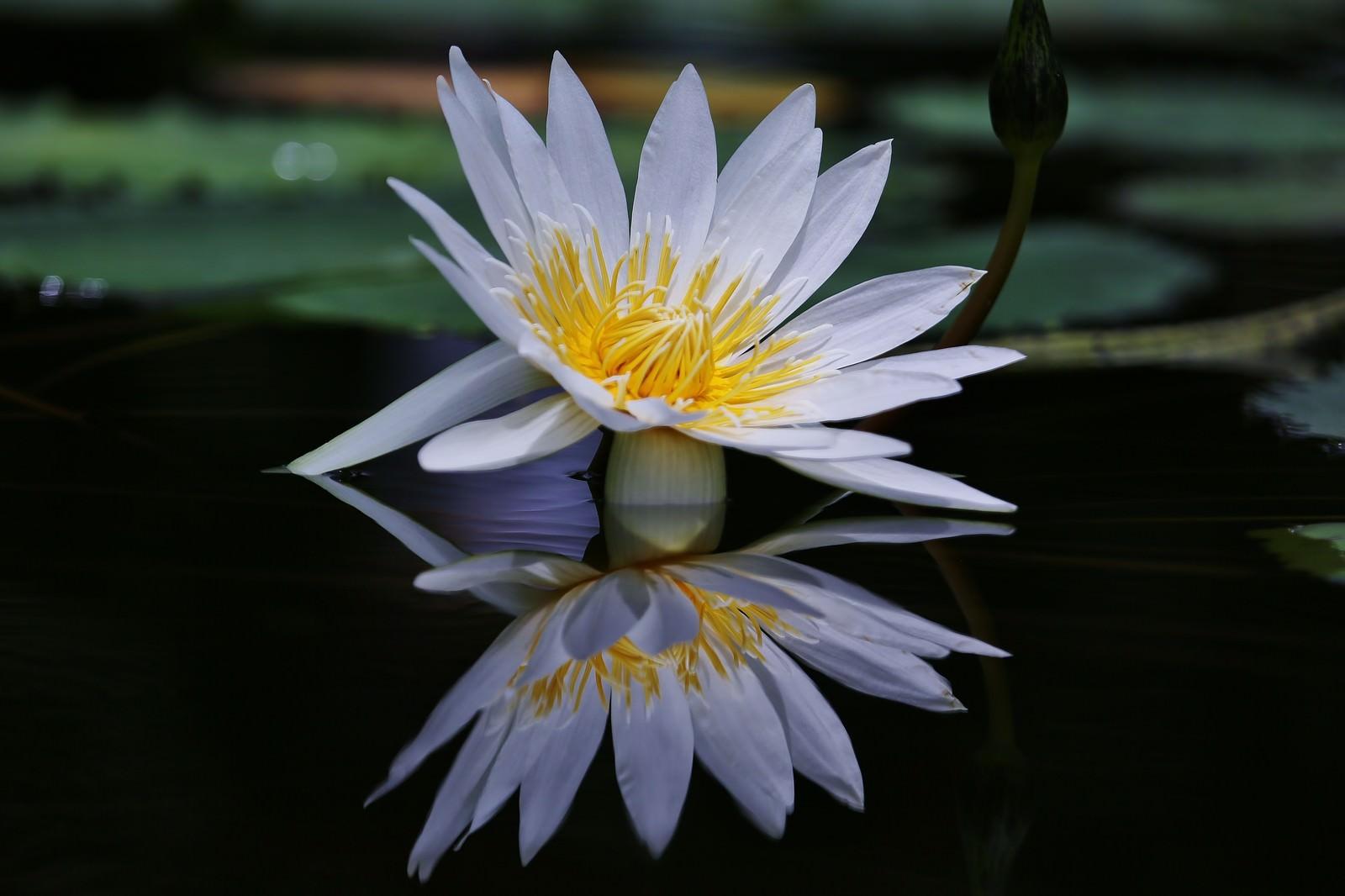 「水面に反射する睡蓮の花」の写真