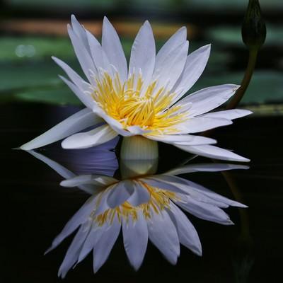 水面に反射する睡蓮の花の写真