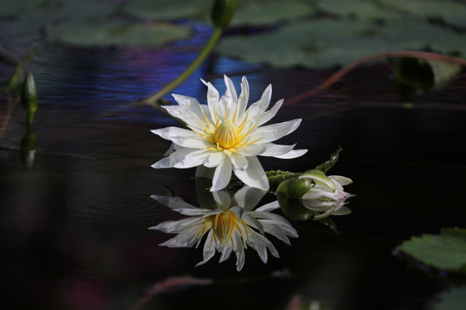 「水面に浮かぶ睡蓮」の写真