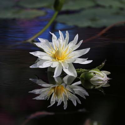 水面に浮かぶ睡蓮の写真