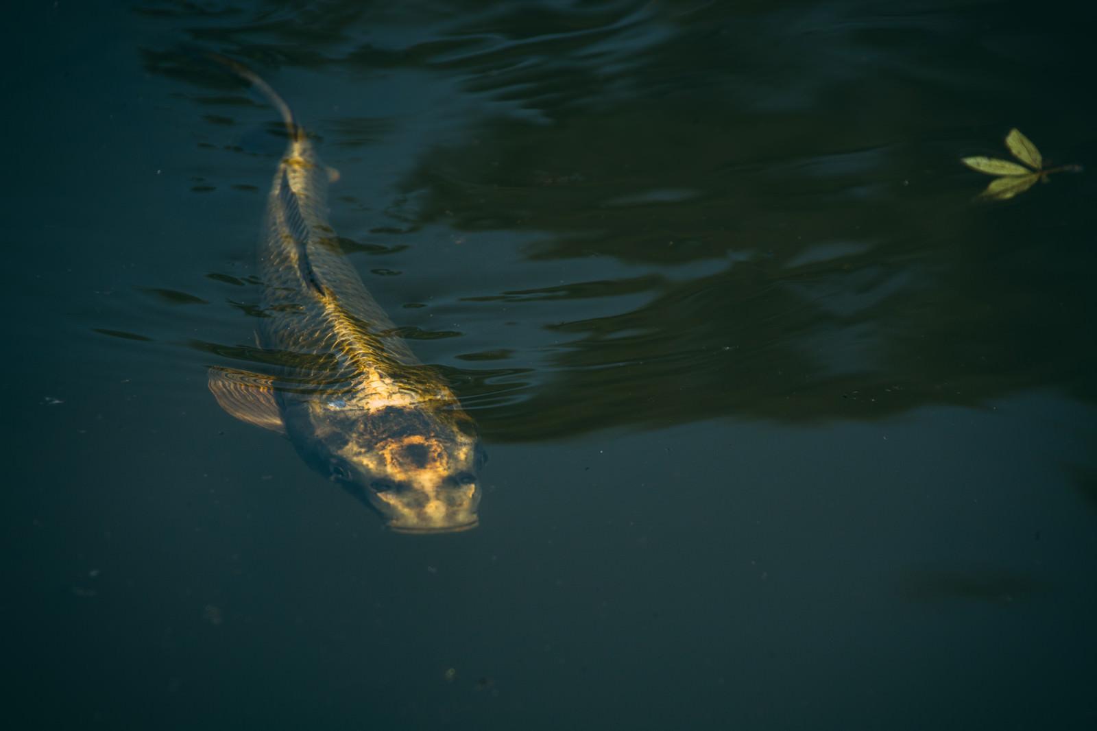「3徹した人面鯉」の写真