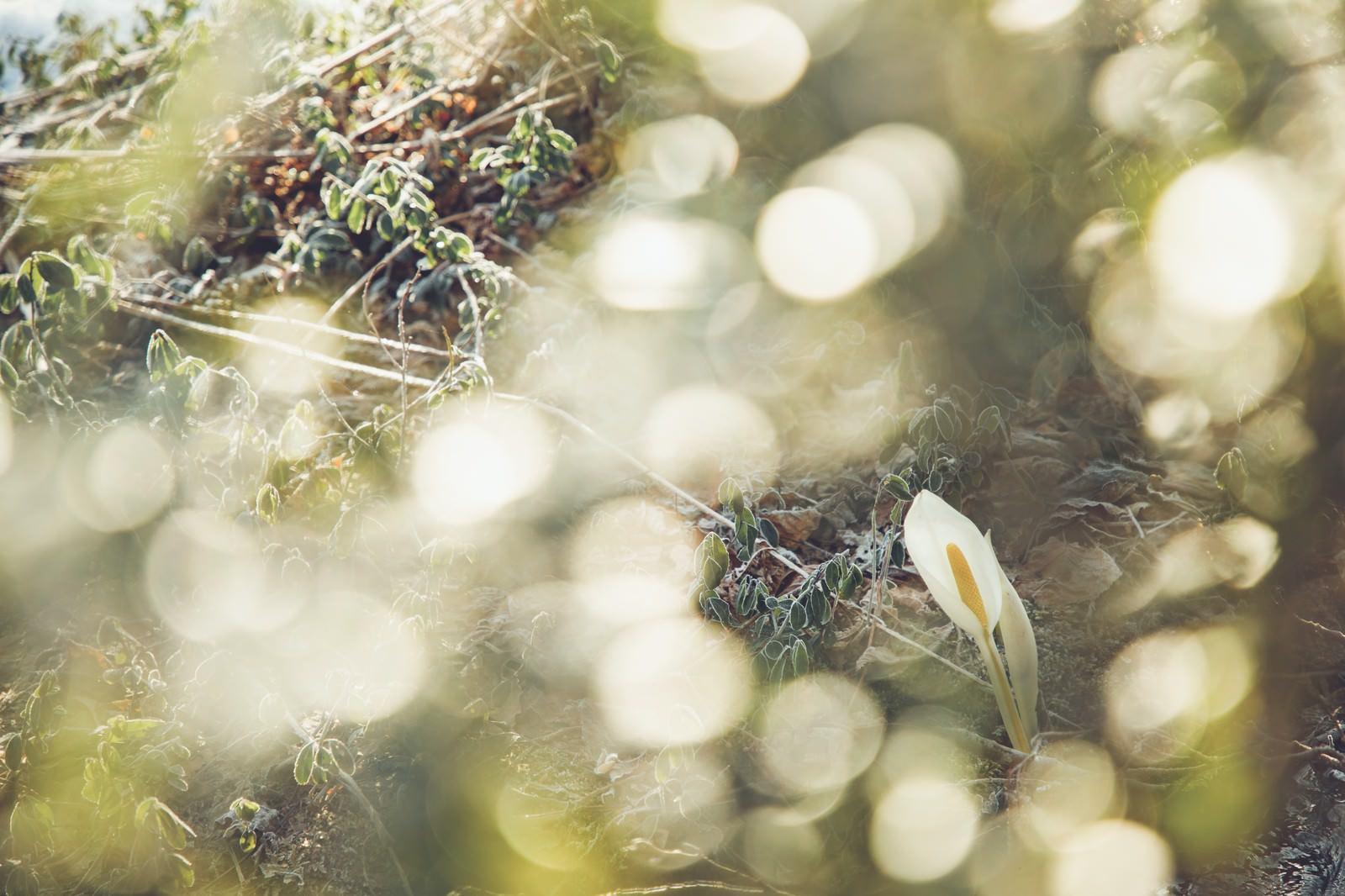「キラキラ水芭蕉」の写真
