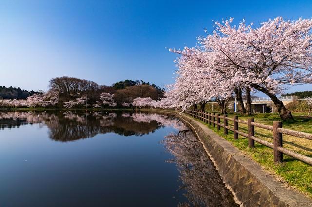 公園の池とうつりこむ桜