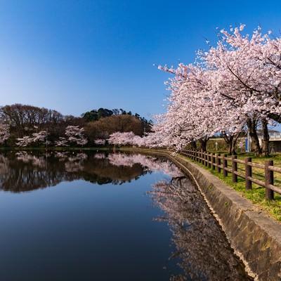 公園の池とうつりこむ桜の写真