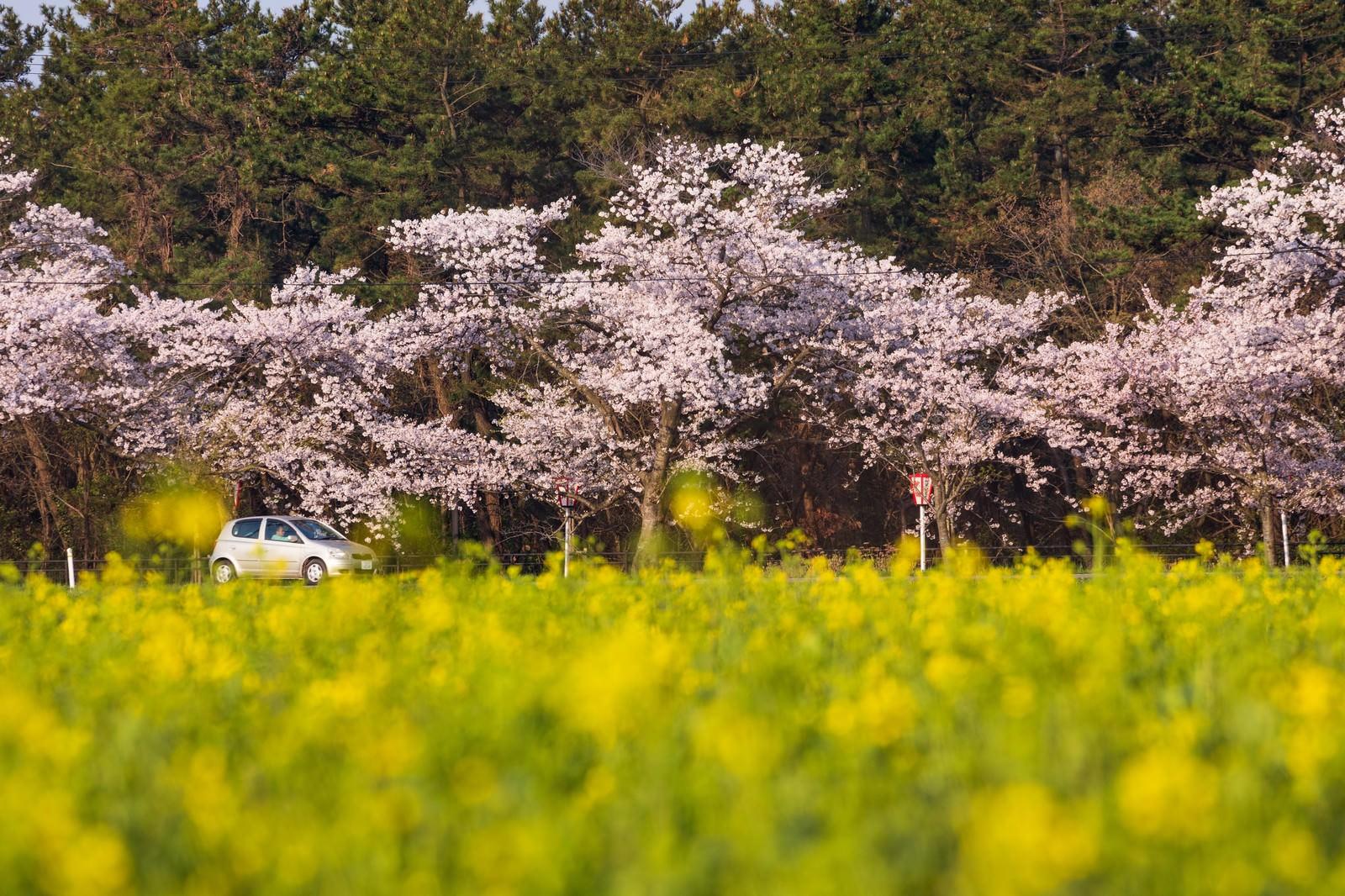 「桜と菜の花の季節にドライブ」の写真
