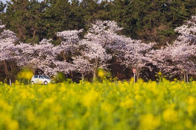 桜と菜の花の季節にドライブの写真