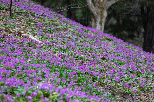 一面カタクリの花の写真