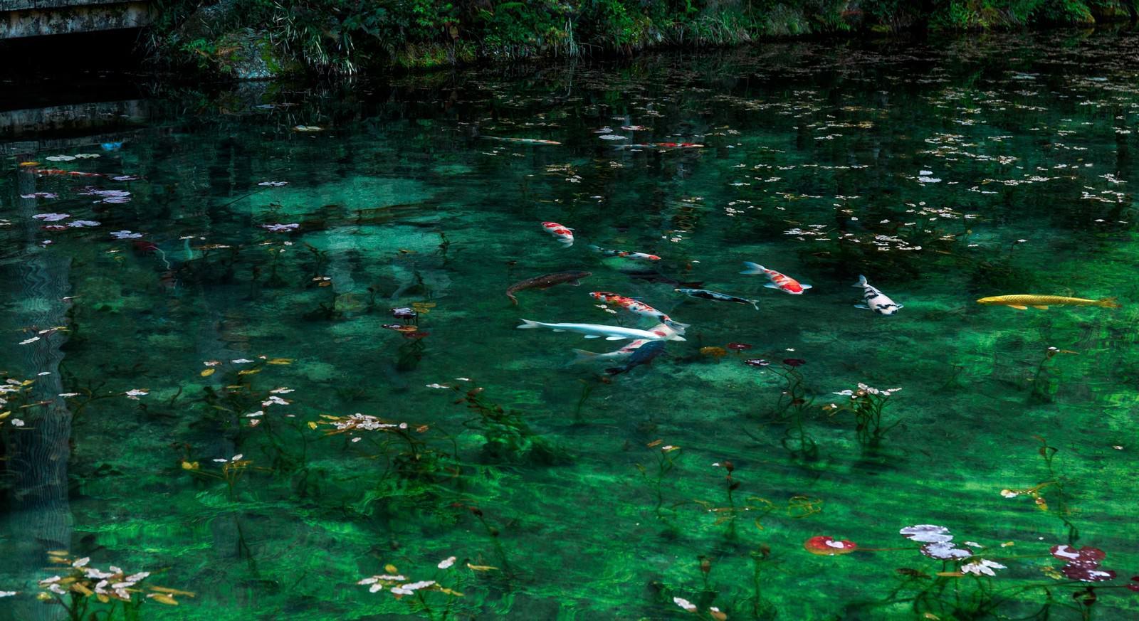 「岐阜県関市のモネの池と鯉」の写真