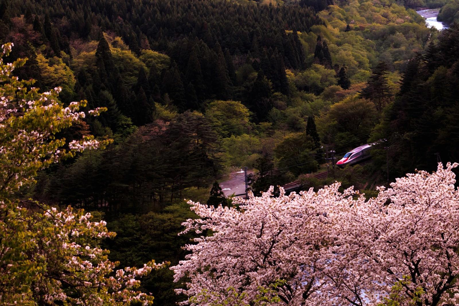 「桜と谷間を走るこまち号桜と谷間を走るこまち号」のフリー写真素材を拡大