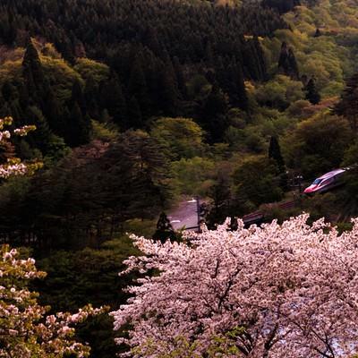 桜と谷間を走るこまち号の写真