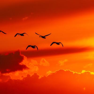 夕焼け空と白鳥の写真