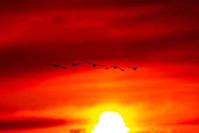 夕陽に向かい飛ぶ白鳥の写真