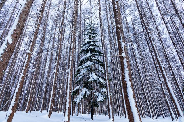 積雪の森の中にある一本のクリスマスツリーの写真