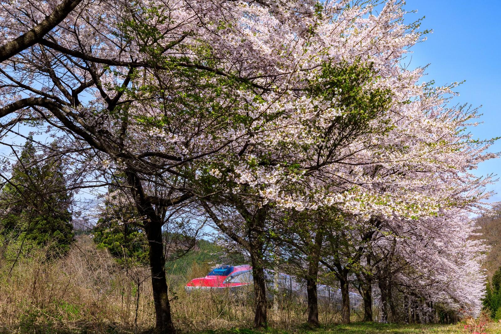 「桜並木から見える秋田新幹線(こまち)」の写真
