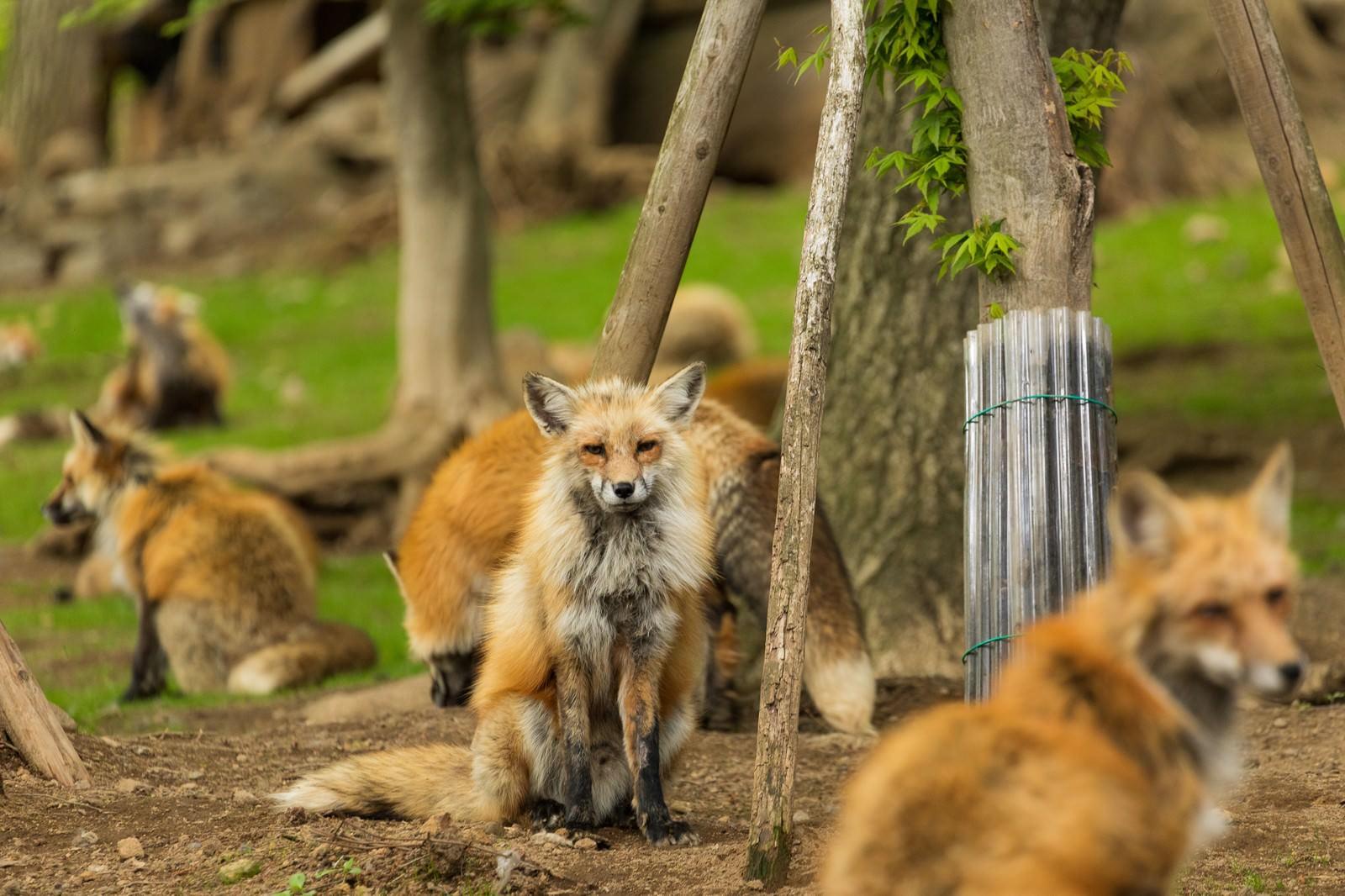 「狐 狐 狐 狐 狐」の写真