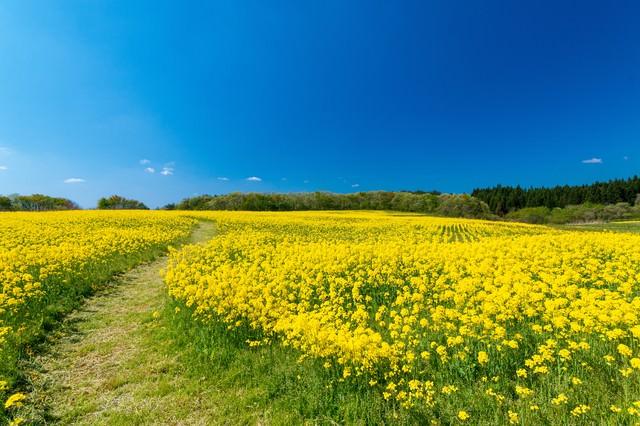 菜の花畑を抜ける小道の写真