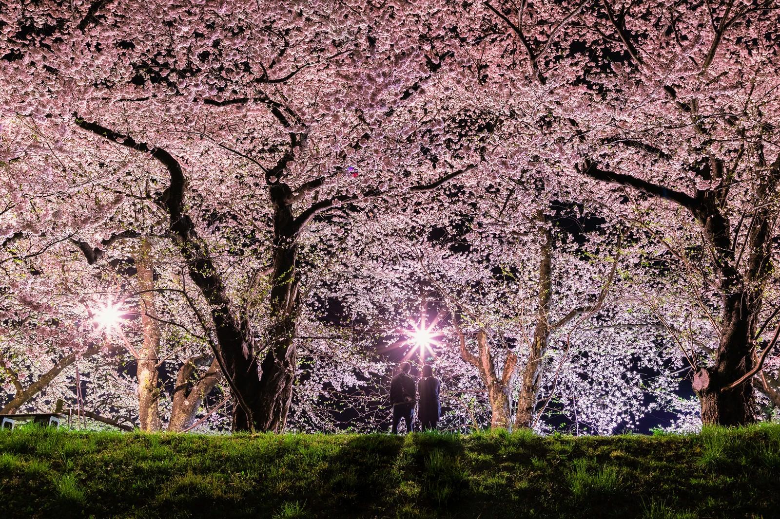 「満開の桜を見に来たお花見カップル」の写真