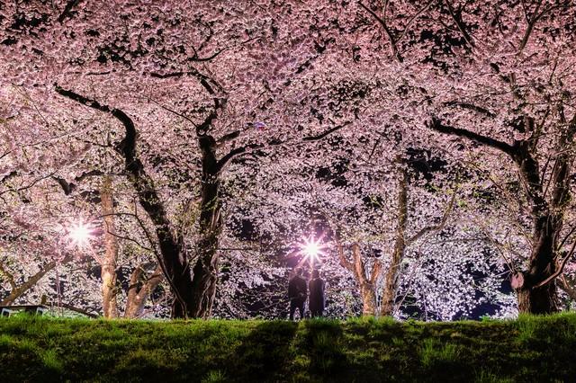 満開の桜を見に来たお花見カップルの写真