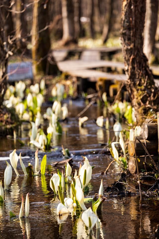 湿地に自生する水芭蕉の写真