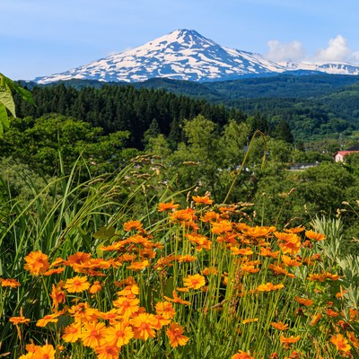 野に咲く花越しに見る鳥海山の写真