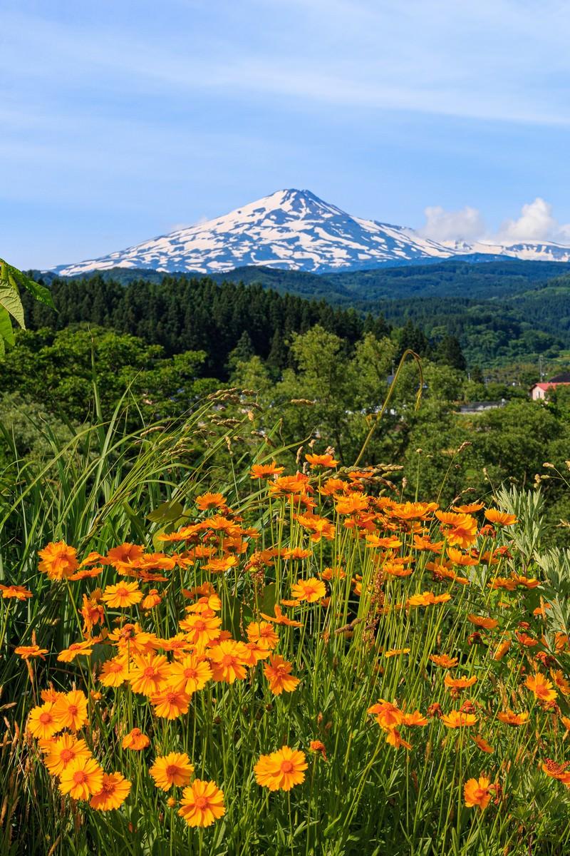 「野に咲く花越しに見る鳥海山」の写真